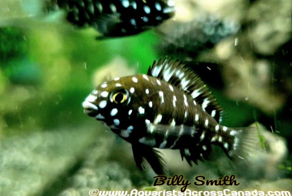 TROPHEUS. SP DUBOISI - Aquarists Across Canada