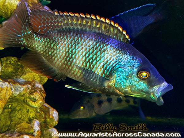 "PLACIDOCHROMIS MILOMO *VC-10* (HOUSEBRED DOMESTIC) 2"" UNSEXED - Aquarists Across Canada"