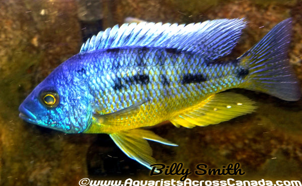 "PROTOMELAS SPILONOTUS *TANZANIA* (HOUSEBRED F1) 3"" MALE - Aquarists Across Canada"