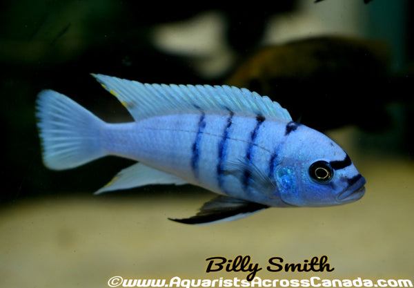 CYNOTILAPIA .SP HARA *GALLIREYA REEF* (WHITE TOP HARA) - Aquarists Across Canada