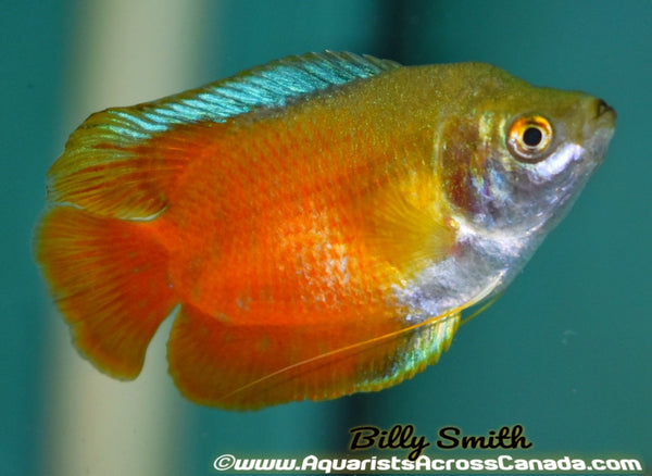 NEON RED DWARF GOURAMI (Trichogaster lalius) - Aquarists Across Canada
