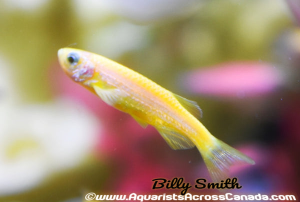 GLO YELLOW DANIO (Danio rerio. sp) - Aquarists Across Canada