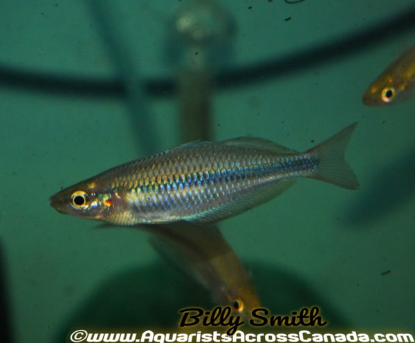 GOLDIE RIVER RAINBOW (Melanotaenia goldiei) - Aquarists Across Canada