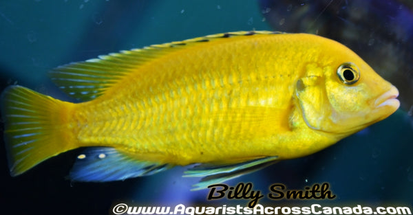 LABIDOCHROMIS CAERULEUS *ELECTRIC YELLOW* - Aquarists Across Canada