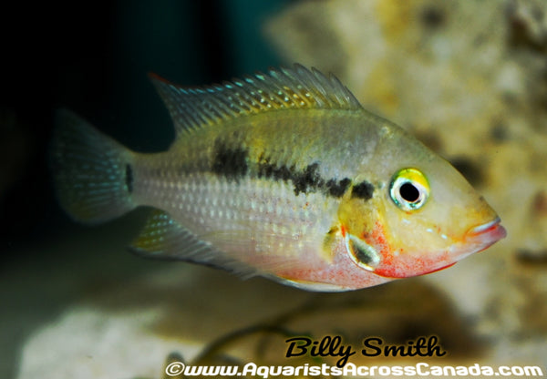 FIREMOUTH (Thorichthys meeki) - Aquarists Across Canada