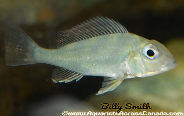 GEOPHAGUS WINEMILLERI (Geophagus winemilleri) - Aquarists Across Canada