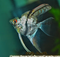 "ANGELFISH SMALL (Pterophyllum ""scalare"") - Aquarists Across Canada"