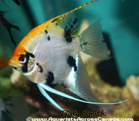 "ASSORTED ANGEL (Pterophyllum ""scalare"") 5"" XL - Aquarists Across Canada"