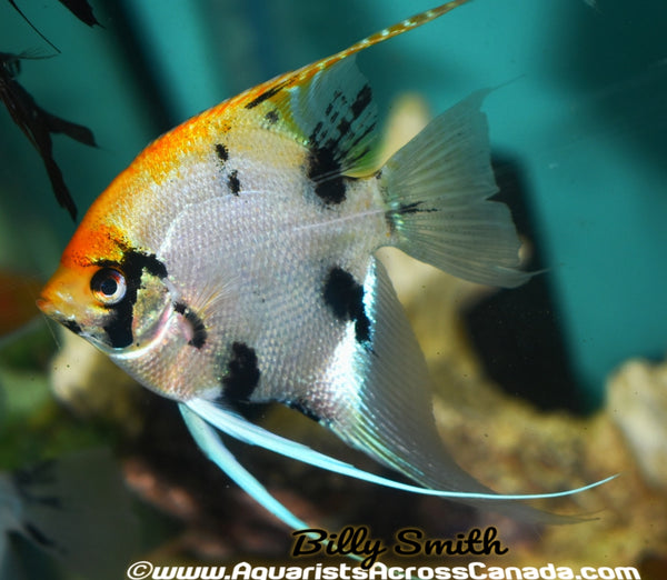 "KOI ANGEL (Pterophyllum ""scalare"") 5"" XL - Aquarists Across Canada"
