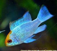 ELECTRIC BLUE RAM (Microgeophagus ramirezi. Sp) - Aquarists Across Canada