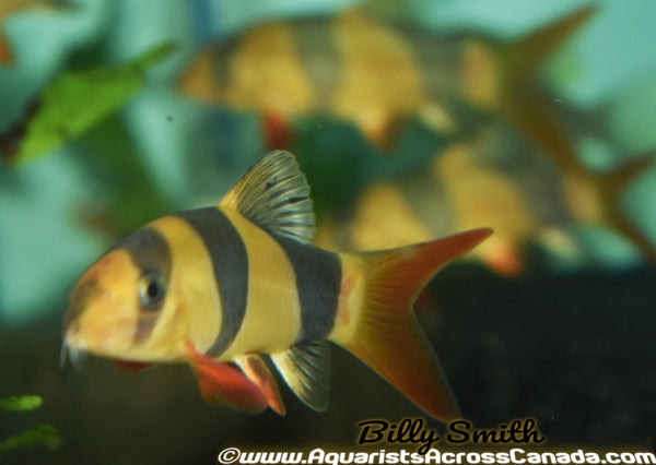 "CLOWN LOACH (Chromobotia macracanthus) 4"" - Aquarists Across Canada"