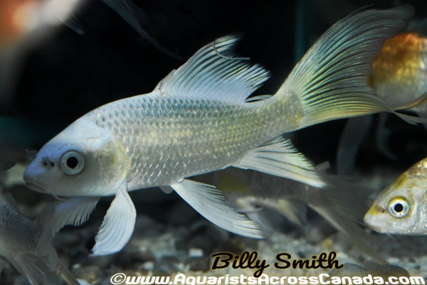 "KOI BUTTERFLY (Cyprinus Carpio) 4"" - Aquarists Across Canada"