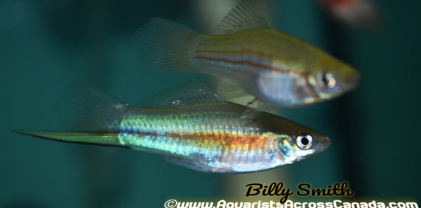 SWORDTAIL ASSORTED (Xiphophorus hellerii) - Aquarists Across Canada