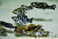 MOLLY ASSORTED (Poecilia sphenops) - Aquarists Across Canada
