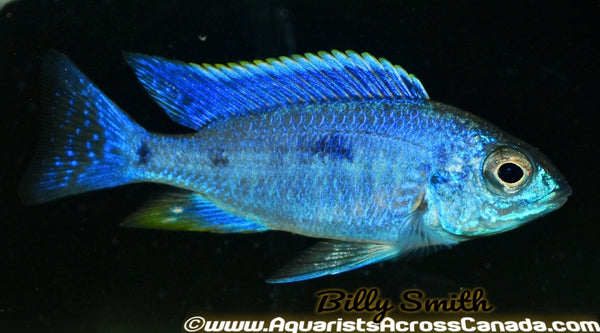 "COPADICHROMIS AZUREUS *HOUSEBRED DOMESTIC) 2.5"" SEXED - Aquarists Across Canada"