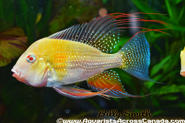"THREADFIN GEOPHAGUS *ALBINO* (Acarichthys heckelii .var) 5"" - Aquarists Across Canada"