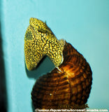GIANT YELLOW SPOTTED RABBIT SNAIL (Tylomelania .sp) - Aquarists Across Canada