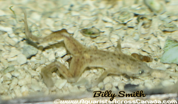 GOLDEN DWARF AQUATIC FROG (Hymenochirus Curticeps .var) - Aquarists Across Canada