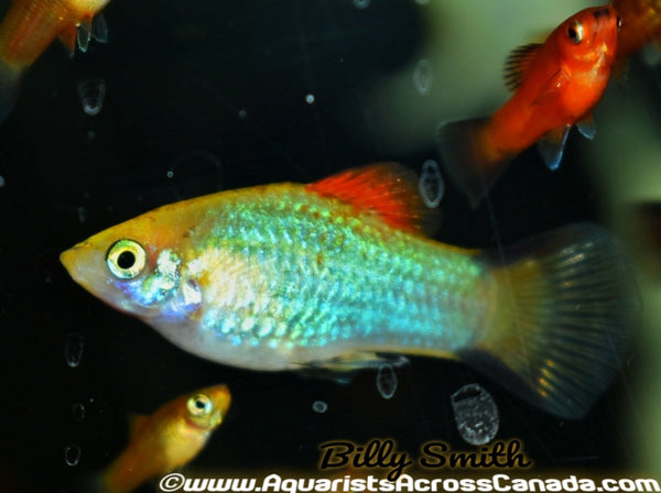 PLATY ASSORTED (Xiphophorus maculatus) - Aquarists Across Canada