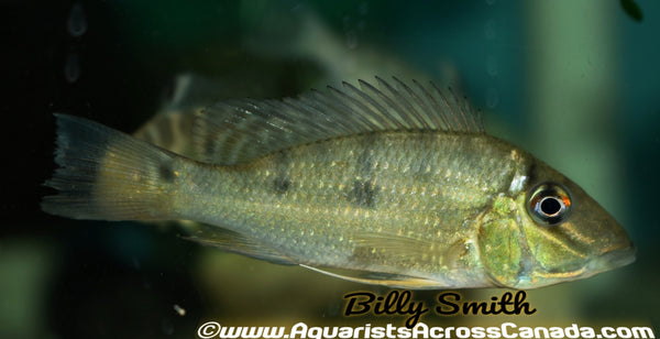 THREE SPOT GEOPHAGUS (Satanoperca daemon) - Aquarists Across Canada
