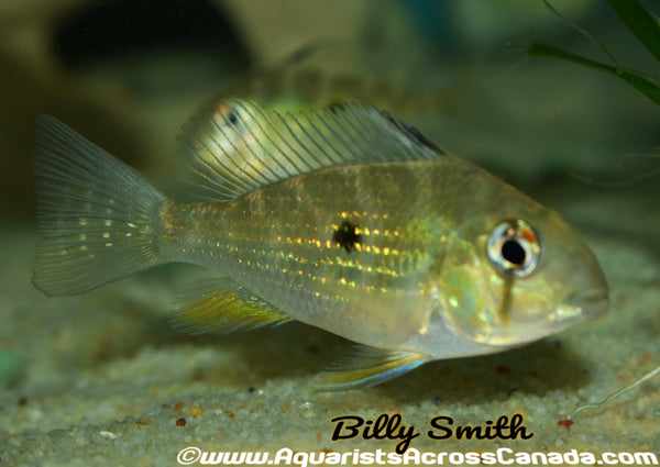 "THREADFIN GEOPHAGUS (Acarichthys heckelii) 4"" - Aquarists Across Canada"