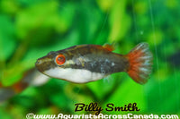 RED EYE PUFFER (Carinotetraodon irrubesco) - Aquarists Across Canada