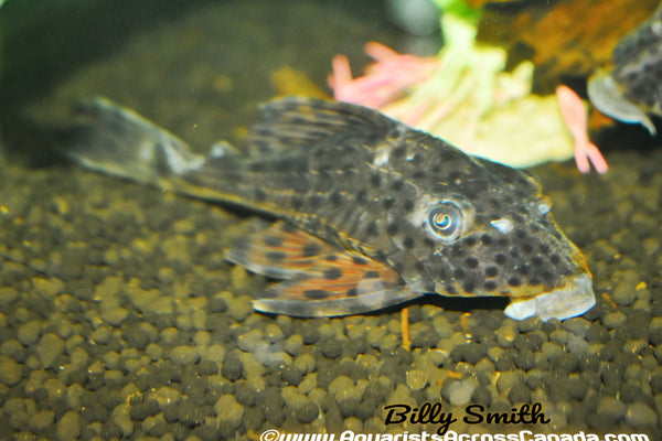 SPOTTED PANAQUE (Cocholiodon .sp) - Aquarists Across Canada
