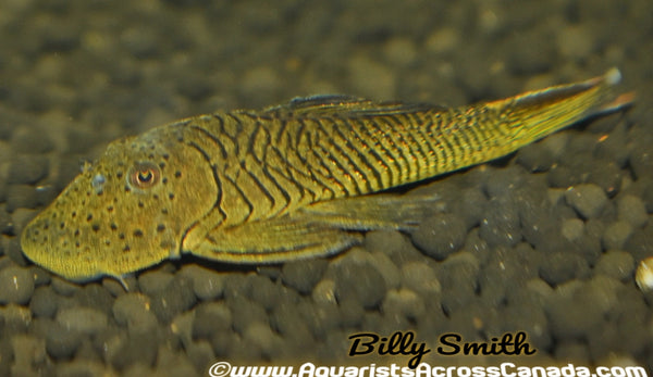L187 SPOTTED RUBBERNOSE PLECO (Chaetostoma formosae) - Aquarists Across Canada