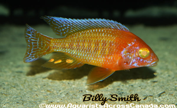 "AULONOCARA. SP ""RUBY ALBINO"" (ALBINO RUBY RED) 2.5-3"" SEXED - Aquarists Across Canada"