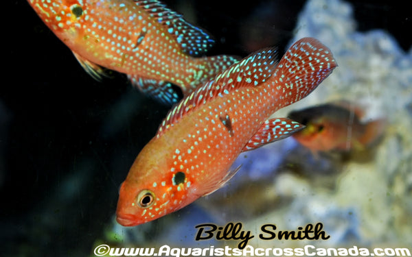 RED JEWEL CICHLID (Hemichromis bimaculatus) - Aquarists Across Canada