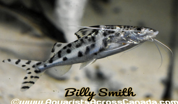 PICTUS CATFISH (Pimelodus pictus) - Aquarists Across Canada