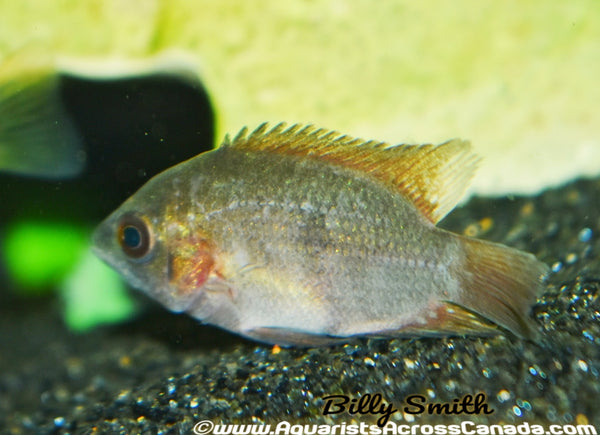 CHOCOLATE CICHLID (Hypselecara temporalis) - Aquarists Across Canada