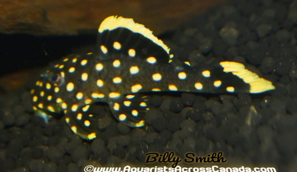 L177 YELLOW SEAM GOLD NUGGET PLECO (Baryancistrus) - Aquarists Across Canada