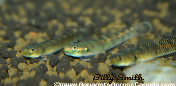 GREEN RIFFLE GOBY (Stiphodon Elegans) - Aquarists Across Canada