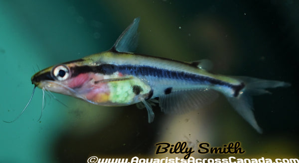 SHADOW CATFISH (Hyalobagrus flavus) - Aquarists Across Canada