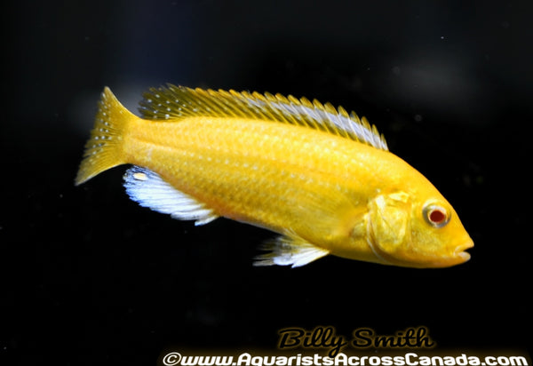 "YELLOW LAB ALBINO (LABIDOCHROMIS CAERULEUS. SP ALBINO) 1.5"" - Aquarists Across Canada"