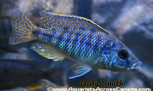 "PROTOMELAS ORNATUS (HOUSEBRED F1) 4-5"" SEXED - Aquarists Across Canada"