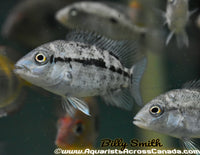 HAITIAN CICHLID *BLACK NASTY* (Nandopsis Haitiensis) - Aquarists Across Canada