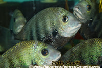 GREEN CHROMIDE (ETROPLUS SURATENSIS) - Aquarists Across Canada