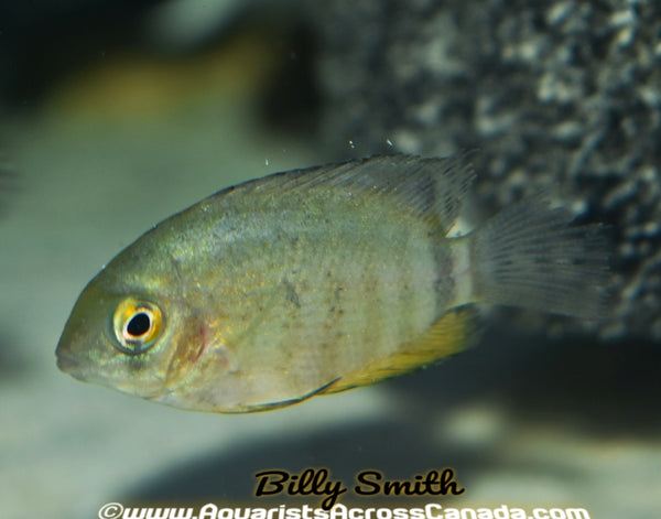 RED SHOULDER SEVERUM (Heros Rotkeil) - Aquarists Across Canada