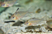BOLIVIAN RAM *CROWN RUBY* (Mikrogeophagus altispinosus) - Aquarists Across Canada