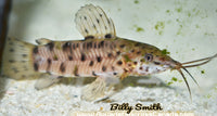 HOPLO CATFISH (hoplosternum thoracantum) - Aquarists Across Canada