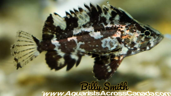 LEAF GOBLINFISH (Neovespicula depressifrons) - Aquarists Across Canada