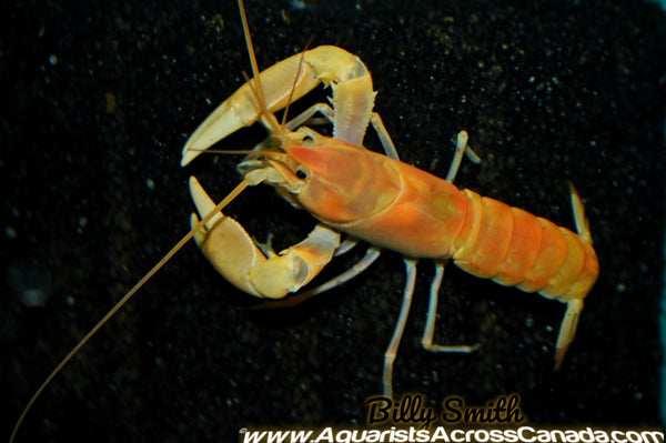 APRICOT LOBSTER (Cherax Holthuisi) - Aquarists Across Canada