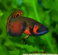 "BETTA MACROSTOMA F1 (HOUSEBRED) 2.5"" - Aquarists Across Canada"