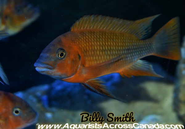"PETROCHROMIS. SP RED. BULU POINT 7+"" - Aquarists Across Canada"