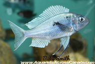 BLUE-GOLD TIPPED (OPHTHALMOTILAPIA VENTRALIS)