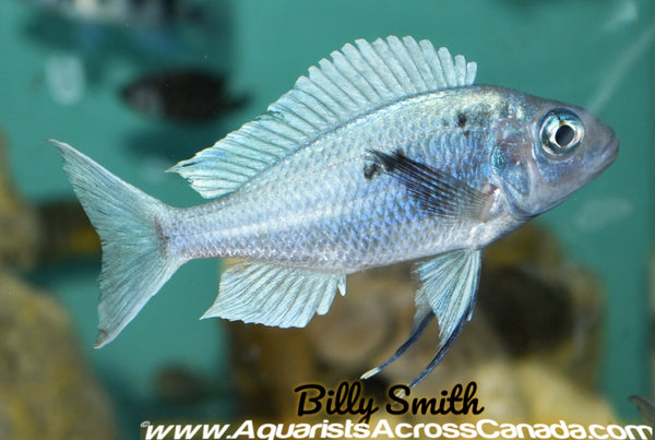 BLUE-GOLD TIPPED (OPHTHALMOTILAPIA VENTRALIS) - Aquarists Across Canada