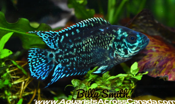 JACK DEMPSEY *Electric Blue* (Cichlasoma octofasciatum .var) - Aquarists Across Canada
