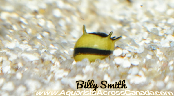 THORNY ZEBRA SNAIL (Neritina .SP) - Aquarists Across Canada
